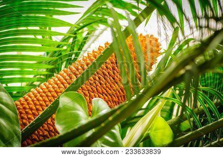 Encephalartos Laurentianus Shrub. Subtropical Cycad Evergreen Palm Like Plant With Red Cones. Cycas.