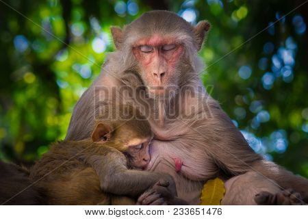 The Rhesus Macaque Is One Of The Best-known Species Of Old World Monkeys. It Is Listed As Least Conc