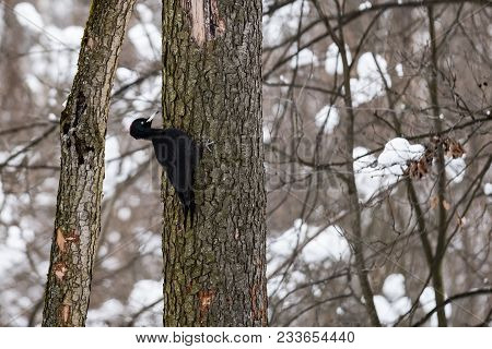 Forest Woodpecker On A Tree In A Winter Forest 2018