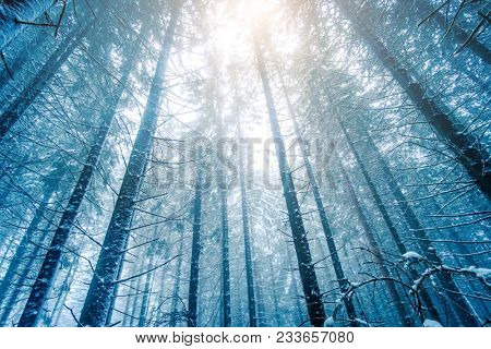 Hight fir trees under covered with white snow. Hoarfrost on the pine trees. Winter forest landscape