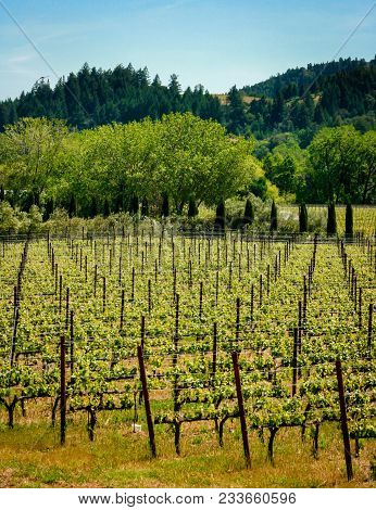 Vineyards On The Beautiful Rolling Hills Near Alexander Valley California