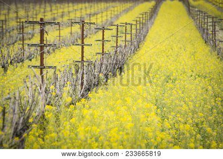 Napa Valley Mustard Fields
