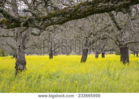 Walnut Orchard In Springtime