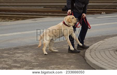 Canine Education - Disobedient Dog, Lablador Dogs