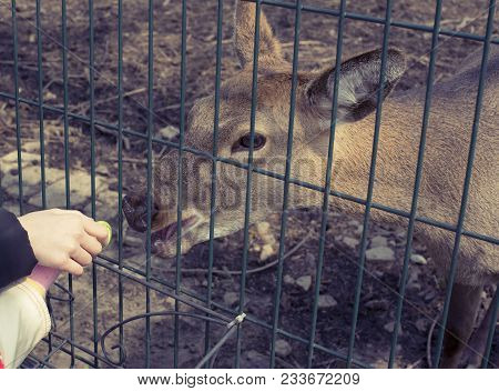 The Young Deer Lives In A Cage In The Zoo. Deer Family In A Cage. Eating Food With Hands.