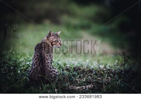 Pretty Bengal Cat Sitting On Green Grass And Looking Aside At Park. Outdoor At Daytime. Animal Life