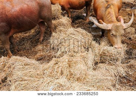 Image Of Buffalo Chew Hay, Livestock Farming