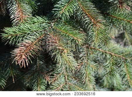 Sun scald on evergreen tree. Discolored  blue spruce needles. Winter injury. poster