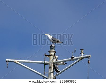 Seagull Sitting On The Ship Mast. Gull Sitting On The Mast On The Background Of Clear Blue Sky.
