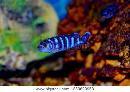 Cichlid Or Cichlidae Blue Tropical Fish In Aquarium. African Cichlid Endemic To Malawi In Blue Tropi