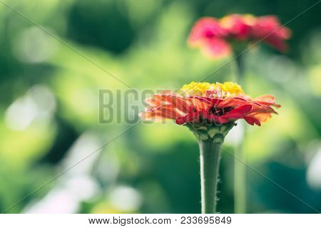 Red Zinnia In Garden Under The Sunlight With Green Bokeh. Red Zinnia Flower In Garden. Beautiful Red