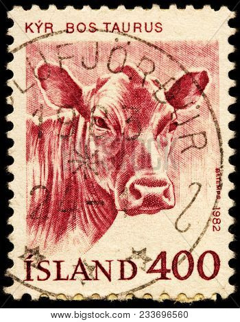 Luga, Russia - January 16, 2018: A Stamp Printed By Iceland Shows Cow - Most Common Type Of Large Do