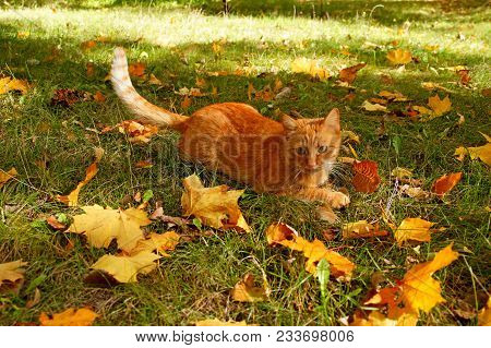Red Cat In Autumn. Ginger Cat Playing In Autumn Park Or Forest. Tabby Cat Playing With Falled Leaves