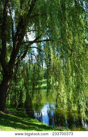 A Weeping Willow Hanging Over A Small Pond In The Spring Time.