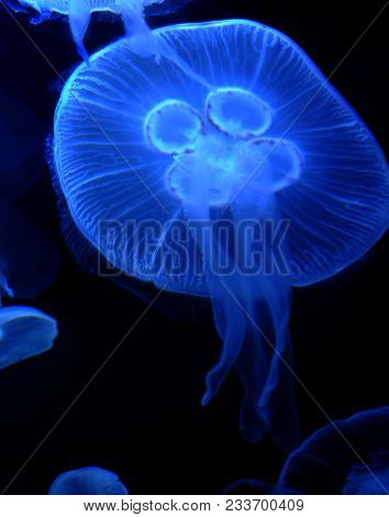 A Moon Jelly Fish Swimming Underwater And Glowing.
