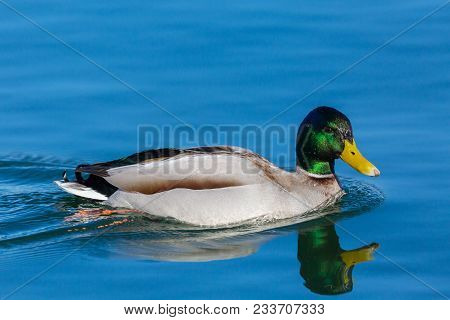 Natural Male Mallard Duck (anas Platyrhynchos) Mirrored In Blue Water
