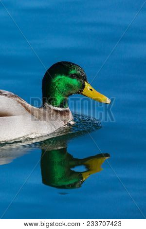 Portrait Natural Male Mallard Duck (anas Platyrhynchos) Reflected In Blue Water