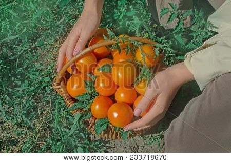 Freshly Harvested Yellow Tomatoes