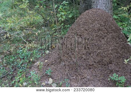 A Large Anthill In A Sunny Autumn Forest. Ants Are Preparing For Wintering, They Warm Their Dwelling