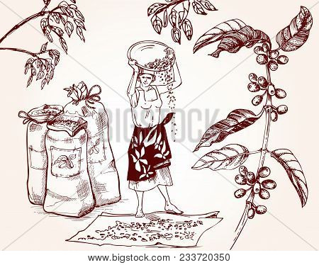 Coffee Harvesting. Woman Performs The Drying Of Coffee Beans. Vintage Illustration Of Coffee Making