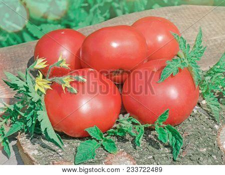 Ripe Red Organic Tomatoes