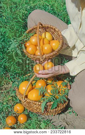 Freshly Harvested Yellow Tomatoes