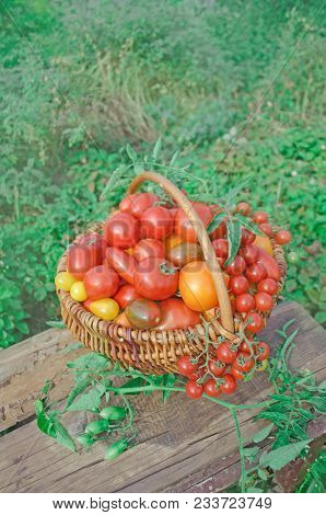 Colorful Tomatoes Mix  In  Basket