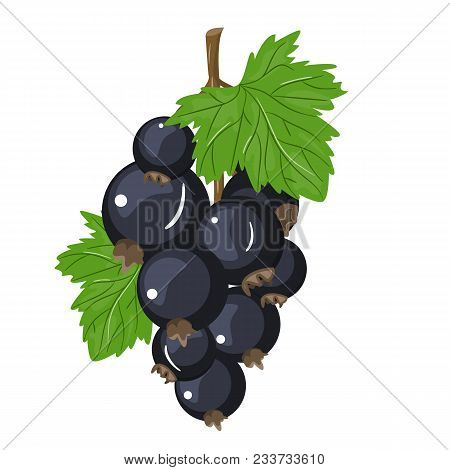 Vector Black Currant Colorful Illustration Isolated On Light Background. Background Design For Tea,
