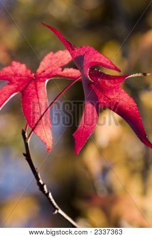 Pretty Maple Autumn Leaves