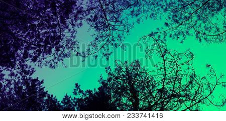 Pine Trees Brunches Silhouettes On The Colorful Sky Background. Photo Depicting A Mystic Evergreen P