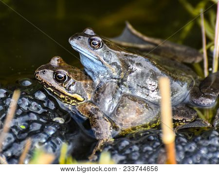 Common Frogs With Spawn On Dark Background