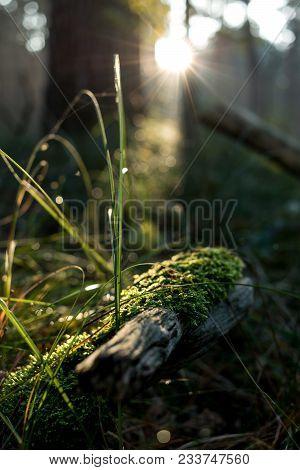 Moosiger Zweig Am Morgen Mit Gras In Der Sonne