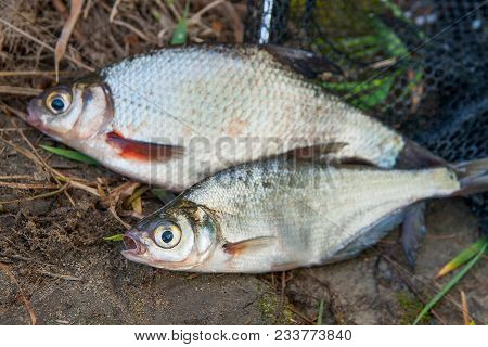 Several Freshwater Fish: White Bream Or Silver Fish And Zope Or The Blue Bream On Black Fishing Net.