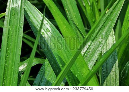 Beautiful Water Drop Of Rain Water On A Green Leaf.drops Of Dew In The Morning Glow In The Sun Light