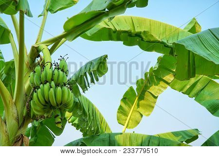 Banana Tree Plantation With Bunch Of Growing Organic Raw Bananas And Green Leaves In Blue Sky Backgr