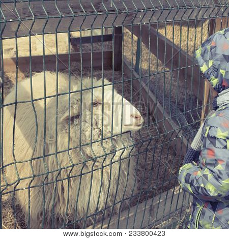 Sheep White Curly Lives In A Cage In The Zoo. Boy Feeding A Sheep With Hands.