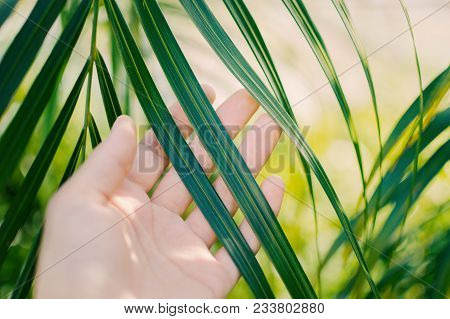 Woman Hand  Touches And Enjoy Green Palm Leaf Lit By The Sun. Concept Tenderness, Interaction, Unity