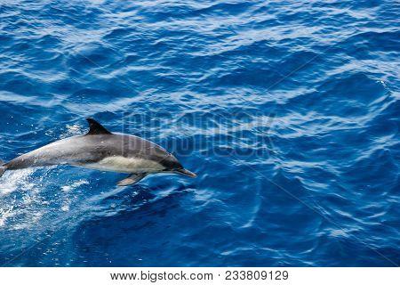 Dolphin Flying In Open Air Over Ocean Surface Near Ventura Coast, Southern California