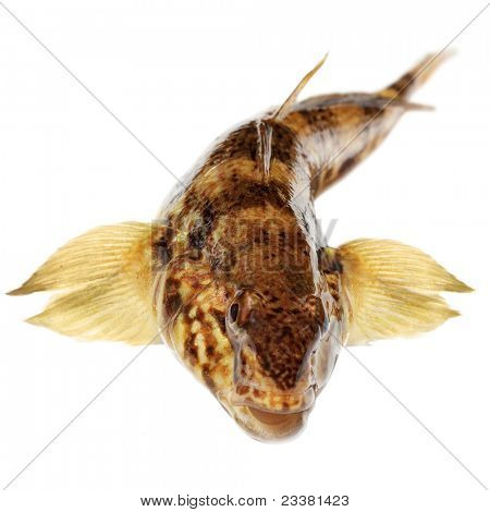 bullhead isolated on a white background