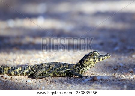 Tiny Baby Caiman Crossing The Road (caiman Crocodilus) Pantanal, Brazil