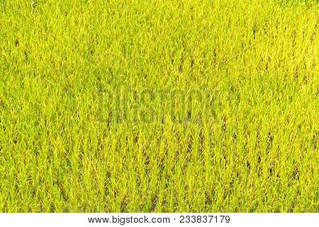 Rice Field On Day Time For Background .