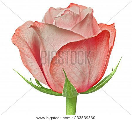 A Red Rose Flower Isolated On A White  Background. Close-up. Flower Bud On A Green Stem With Leaves.