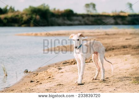 Puppy Of Russian Wolfhound Hunting Sighthound Russkaya Psovaya Borzaya Dog Walking Near River.