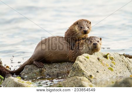 European Otters (lutra Lutra), Mother And Cub On Shoreline, Shetland, Scotland.