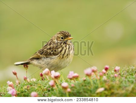 Close up of a Meadow pipit (Anthus pratensis) in a meadow of pink thrift, Shetland islands, Scotland. poster