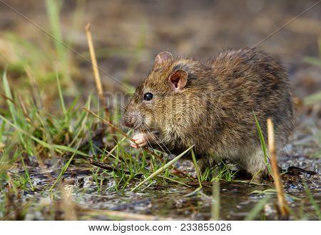 Close Up Of A Brown Rat (rattus Norvegicus) Eating On A Grass, Uk.