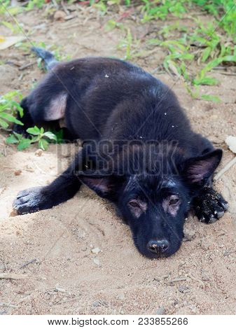Oung Black Stray Dog Or Puppy With Leprosy Show Hairless Around Its Eyes And Legs Lying On The Groun
