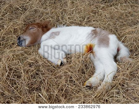 White And Brown Newborn Foal Of Horse Or Pony Sleeping Or Resting Over Pile Of Hay With Anti Infecti
