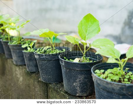 Young Green Sapling Eggplant Tree Grow Up From Soil In Black Pot. Agriculture And Environment Concep