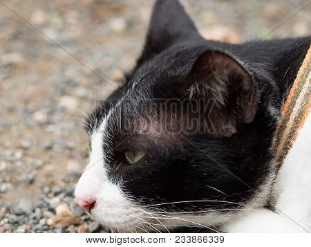 Black And White Cat Lying On Floor Looking Forward And Thinking.